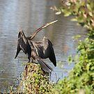 Wings Spread (Anhinga melanogaster) by byronbackyard