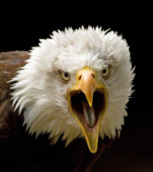 bald eagle screaming by mrshutterbug redbubble