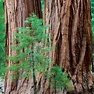 Parents and Children of Sequoia National Park, California by Alan C Williams