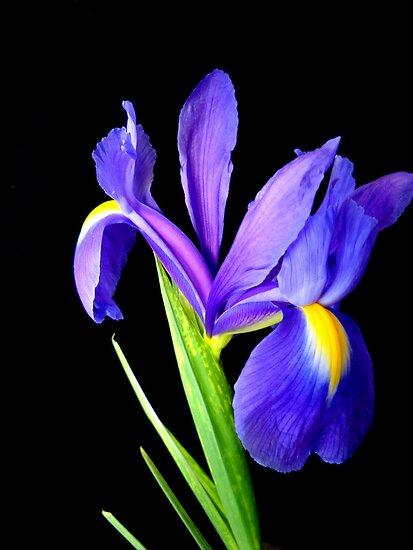 Single flower. by Vitta