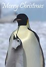 Emperor Penguins 10 - Merry Christmas Card by Steve Bulford