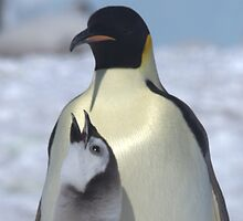 Emperor Penguins 10 - Merry Christmas Card by Steve Bulford