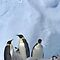 Emperor Penguins 11 - Merry Christmas Card by Steve Bulford