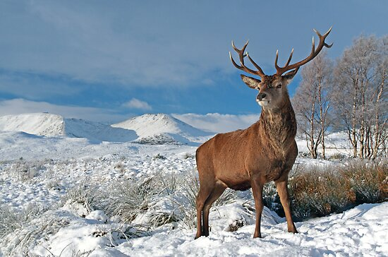 Deer-Stag by Photo Scotland