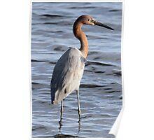 Reddish Egret Poster