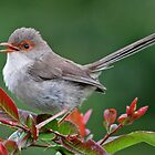 Singing Female Superb Fairy Wren by TheGreatContini