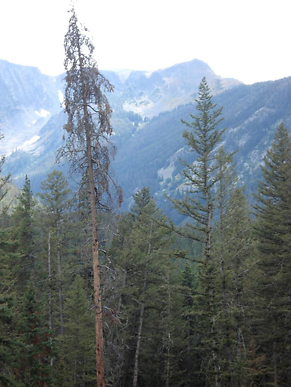 Lodgepole Pine by May Lattanzio