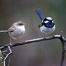 Superb Fairy Wrens by Lynn and Lee Deamer