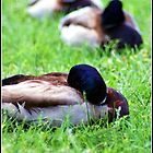Sleeping Ducks  by Phae2584