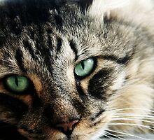 Juan - Maine Coon Cat - Qld by Heidi Foreman