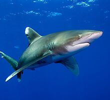 Oceanic White Tip Shark by Carlos Villoch