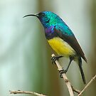 Variable sunbird by Paulo van Breugel