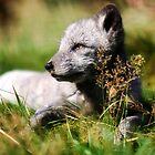 Arctic Fox by Ben Luck