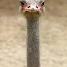 ostrich by gallofoto