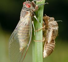 Newly Emerged Cicada by Andrew Trevor-Jones