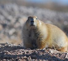 Black-tailed Prairie Dog by Barbara Manis