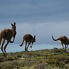 Powerful Kangaroos Bound Through The Wilderness by wilderness