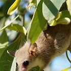 Nectar Collecting Pygmy Possum by wilderness