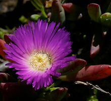 Purple Pigface by wilderness