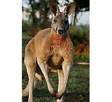 Powerful Red Kangaroo Photographic Print