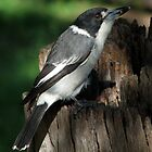 Grey Butcherbird by TheGreatContini