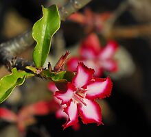Impala Lily by Heather Thorsen