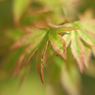 Japanese Maple by Paul Thompson