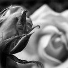 Beginnings - Rose Garden, San Francisco, CA by SebastianPhoto