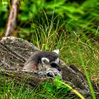 Ring Tailed Lemur by James Rutherford