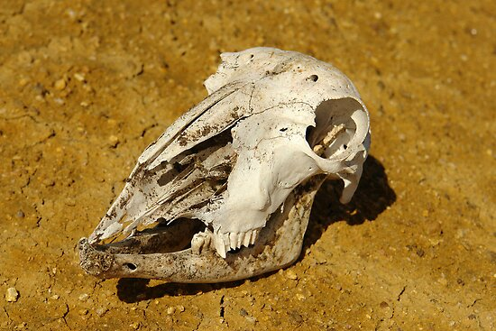 Animal Skull In Desert by sallydexter