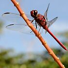 Red Dragonfly by SebastianPhoto