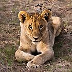 Sub-adult lion | Namibia by Olwen Evans