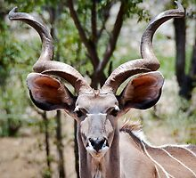 Greater Kudu | Namibia by Olwen Evans