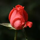 Love of the RED Rose by Joy Watson