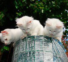 Three Kittens on Top of Garden Fencing Roll  by jojobob