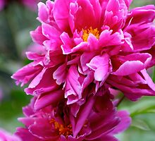 Paeonia by tonni