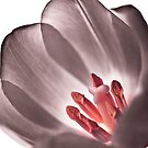 Tulip by Gabor Pozsgai