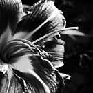 Lily in Mono by Linda Bianic