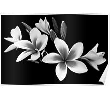 Black and White Frangipani Poster