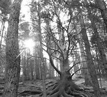 Grandfather Tree by Barrie Daniels