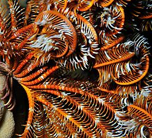 Feather star - Crinoid in night dive by Aziz T. Saltik