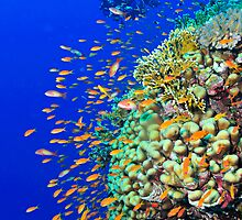 Colorful anthias and a diver over a reef by Aziz T. Saltık