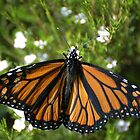 Monarch butterfly #1 / Danaus plexippus by John Martin