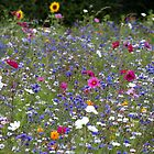 Field of Flowers by helenlloyd