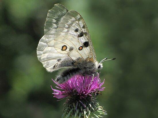 الفراشه ابولو