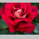 Beautiful  Nature: Roses - 2 by houk