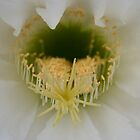 Delicate detail of a Cactus Bloom by shazart