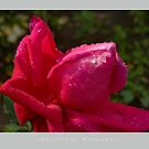 Beautiful  Nature: Roses - 7 by houk