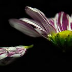 Chrisanthemum 4 by FotosdaMau