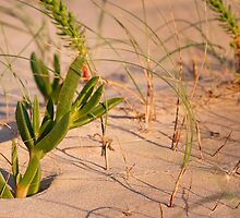 Succulent in the sand by Will Hore-Lacy